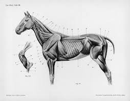 Full Body Muscle Anatomy Top 25 Best Horse Anatomy Ideas On Pinterest Horse Bones Horse