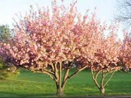 a pink flowering cherry tree for your landscape