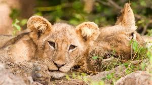lion cub ngsversion 1466004823231 jpg