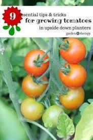 Upside Down Tomato Planter by Revolution Upside Down Tomato Planter Hanging Tomato Plants