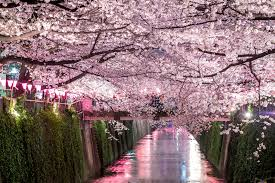 cherry blossom tree sakura supreme best parks for cherry blossom viewing in tokyo