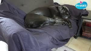 comment empecher chien de monter sur le canapé comment apprendre à votre chien à faire ses besoins à un endroit