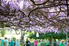 wisteria sinensis australian bush flower wisteria or wistaria a visit to the 119 year old u201clargest