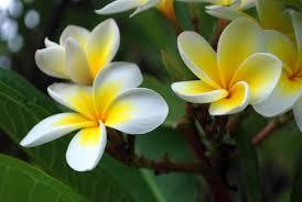 plumeria flower plumeria