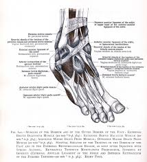 Ankle Anatomy Ligaments 621 Muscles Of The Dorsium And Of The Outer Border Of The Foot