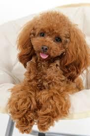 Gingerdoodle by Ruby My Red Toy Poodle U2026 Pinteres U2026