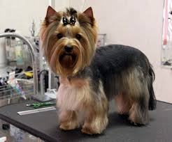 haircuts for yorkies 8 best yorkie haircuts images on pinterest doggies dog cat and