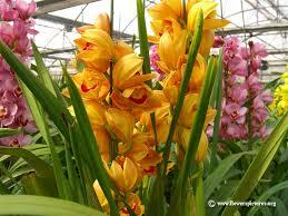 cymbidium orchid picture orange cymbidium orchid flowers