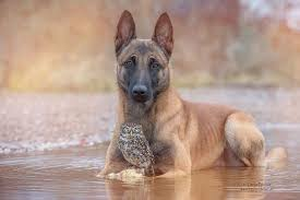 belgian sheepdog and cats the unlikely friendship of a dog and an owl bored panda