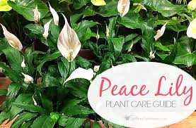 peace plant peace plant care guide how to grow a peace