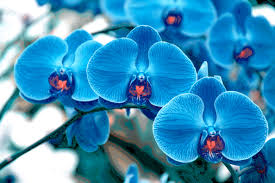 blue orchids flower phalaenopsis flowers blue orchids orchid wallpaper black