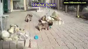 affenpinscher for sale ohio lhasa apso puppies for sale in cincinnati ohio oh