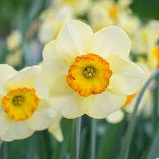 web only daffodil varieties white flower farm