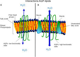 frontiers mutual interactions between aquaporins and membrane