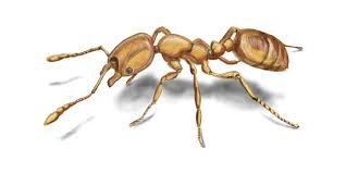 Hayward And Company U2013 Nh by Pharaoh Ants U2013 Pharaoh Ant Facts Control U0026 Identification Orkin Com