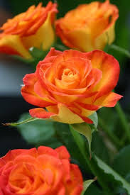 yellow roses with tips best 25 orange roses ideas on coral roses