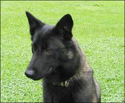 belgian shepherd dog club of canada canuck dogs your source for canadian dog event information online