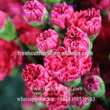 wholesale carnations better freshly cut wholesale carnations with water on sale