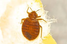 How Long Do Bed Bug Bites Take To Show Up 38 Best Don U0027t Let The Bed Bugs Bite Images On Pinterest Bug Bite
