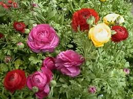 Ranunculus Persian Buttercups How To Grow And Care For Ranunculus Plants