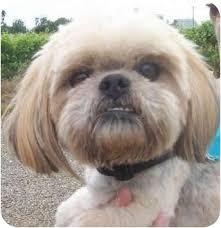 affenpinscher with underbite emerson adopted dog sacramento ca havanese mix