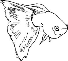 female guppy fish anatomy colouring colouring tube