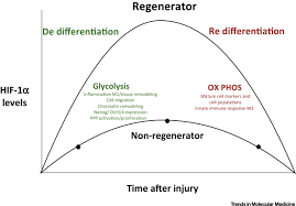 oxygen metabolism and regeneration lessons from mice trends in