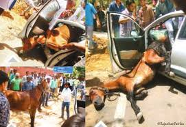 a horse crashes into a moving car in jaipur city of jaipur