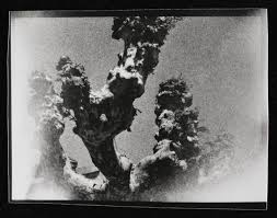 photograph of thick tree branches eileen agar tate archive tate
