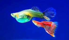 ornamental fish farming for beginners agrifarming in