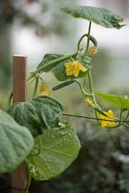 Trellis For Cucumbers In Pots Growing Cucumbers Miracle Gro