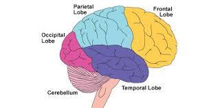 Gross Brain Anatomy Parts Of The Brain Quiz Proprofs Quiz