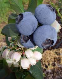 blueberry burst plantnet