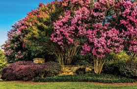 6 smaller shade trees for small properties nurseryman