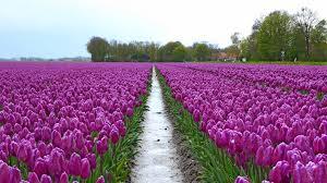 Netherlands Tulip Fields Tulip Tour 2016 Flevopolder The Netherlands Safe And Healthy