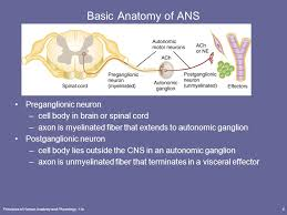 Ans Anatomy And Physiology The Autonomic Nervous System Ppt Video Online Download