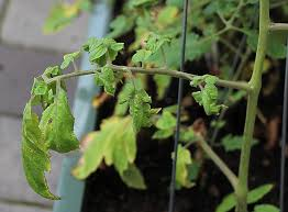 Plant Diseases With Pictures - 20 common tomato plant problems and how to fix them