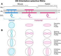 orientation selectivity in the retina on cell types and