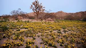 desert flower 4k full moon rising over desert flower carpet time lapse tilt up