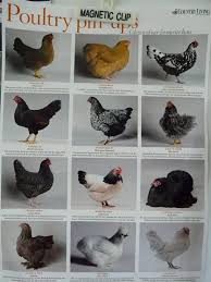 different breeds of chickens americans daily ramblings honest