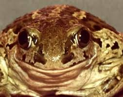 How To Get Rid Of Cane Toads In Backyard 122 Best Ode To A Toad Images On Pinterest Frogs Amphibians And