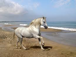 white mustang horse beautiful white horse on the beach 1600x1200 wallpaper 5952