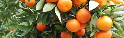 miracle fruit cheap citrus trees for sale