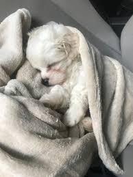 bichon frise shih tzu mix for sale view ad zuchon puppy for sale north carolina greensboro usa