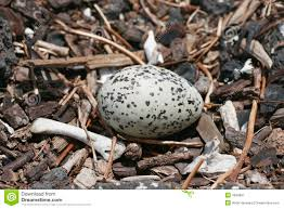 speckled bird egg in nest royalty free stock photography image