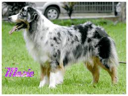 australian shepherd gif ryana furry art amino