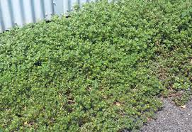 native australian ground cover plants animal improved dung farmer mgd nat regen holistic management