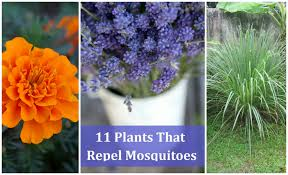 How To Keep Mosquitoes Away From Backyard Keep Mosquitoes Away How To Keep Mosquitoes Away Marvellous Ideas