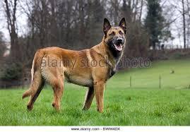 belgian shepherd dog malinois belgian shepherd dog europe stock photos u0026 belgian shepherd dog