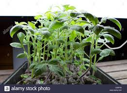 growing plants indoors with artificial light organic tomato seedlings grow indoors under artificial light in a